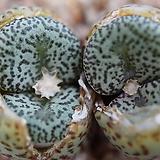 코노피튬 일반종 오브코델룸 씨앗 10립 (CS004)|Conophytum