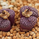 코노피튬 일반종 위트버젠스 씨앗(레드라인 10립) (CS007)|Conophytum Wittebergense