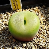 코노피튬 일반종 subfenestratum 서브페네스트라툼 씨앗 10립 (CS008)|Conophytum