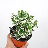 백사철 / 흰무늬사철 / 공기정화식물 / 한빛농원|