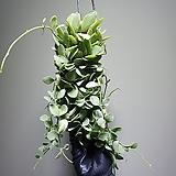 강한디시디아화이트롱 수입식물 공중식물  304010960 