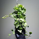 강한디시디아그린롱 수입식물 공중식물  304010960 