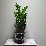 금전수실속형중품 개업식물 406011960 Zamioculcas zamiifolia