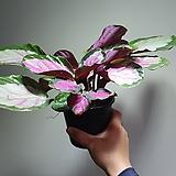칼라데아로시 단품 해당상품 배송 수입식물 