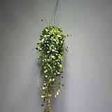호야 쇼위 슈이 수입호야 공중식물  508014910 Hoya carnosa