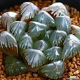 수정옵튜샤 2|Haworthia cymbiformis var. obtusa