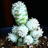 구갑기린 1|Euphorbia submamillaris