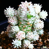 구갑기린 4|Euphorbia submamillaris