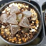 아한호 하월시아|haworthia