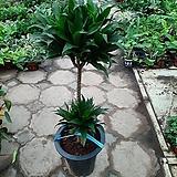 콤펙타/공기정화식물/높이90센치/근이네식물원|