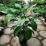 대엽홍콩야자/공기정화식물/근이네식물원/높이70센치|