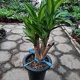 목대행운목/공기정화식물/근이네식물원/높이65센치|happy tree