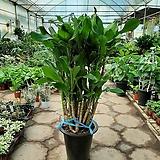 황금죽/공기정화식물/높이90센치/근이네식물원|