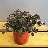 크로바사랑초(잎이4개이죠) 행운을 전하세요 (밥이 많아요) 새로입고|