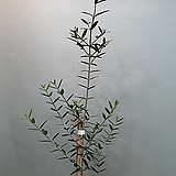 키가큰올리브(대품) 성장점이 살아있는아이에요(높이 120-140)|