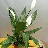 스파트필름( 가격저렴) 공기정화식물|