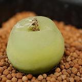 코노피튬 일반종 ratum 라툼 씨앗 10립 (CS016)|Conophytum