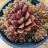 세솜붉은바위솔-40-6 