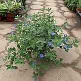 아메리칸블루/공기정화식물/근이네식물원|