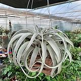 세로그라피카/공중식물걸이|