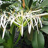 토종제주도문주란-꽃대깊은 향기 