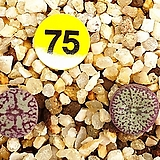 코노피튬 위트버젠스,쎄레시아눔 셋트|Conophytum Wittebergense