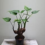 알통근육알로카시아 공기정화식물  35509950 Alocasia