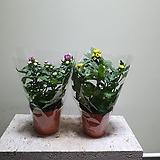 국화꽃공기정화식물 15252512 