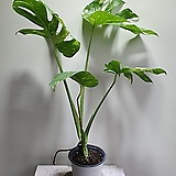 무늬몬스테라델리시오사 단품 공기정화식물 묵은둥이 11번 