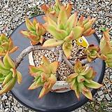 긴잎적성 9두자연군생 목대-18 Echeveria agavoides Akaihosi