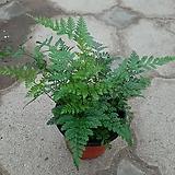 후마타고사리/근이네식물원/공기정화식물|