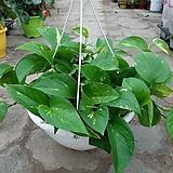 스킨걸이/근이네식물원/공기정화식물|