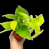 형광스킨 / 야광스킨 / 스킨 / 스킨답서스 /공기정화식물/한빛농원|