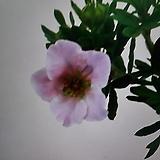 분홍물싸리(외대)|