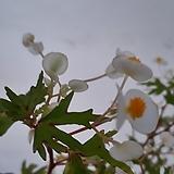 어메이징드리게이베고니아(묵은주)|Begonia