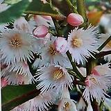 목가가미(담팔수나무)|