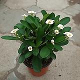 꽃기린흰색/근이네식물원|