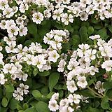 이끼용담.흰색꽃.4개.월동짱!.상태굿.무리지어서 심으면 좋습니다.|