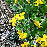 오공.노랑꽃.4개.월동짱!.상태굿.늦가을까지 꽃이 계속하여 핍니다.무리지어서 심으면 좋습니다.|