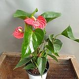빨간안시리움( 꽃이 오래동안 피고지고해요)  인데리어최고|Anthurium andraeaeanum