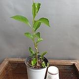 바오밥나무(소품)생명력이강한아이에요