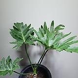 구종셀렘셀럼호프셀렘묵은둥이 단품 1번 공기정화식물 