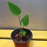핑크안시리움(수입식물)  새로들어온아이에요 (핑크색꽃이  귀엽게 피는 아이에요)|Anthurium andraeaeanum