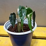 알로카시아 밤비노(수입식물)  핫한아이가 새로 입고되었지요|Alocasia