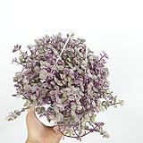 핑크레이디/ 달개비 / 공기정화식물 / 한빛농원|