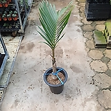 주병야자 대품 공기정화식물 10012069940 