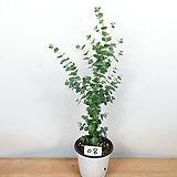 유칼립투스 / 공기정화식물 / 비염효능 /사진상품발송 08/ 한빛농원|