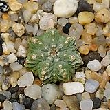 Aztekium ritterii-실생 화롱(花籠)