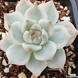 여름특가! 치와와복륜금-19|Eeveria chihuahuaensis