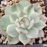 여름특가! 치와와복륜금-13|Eeveria chihuahuaensis
